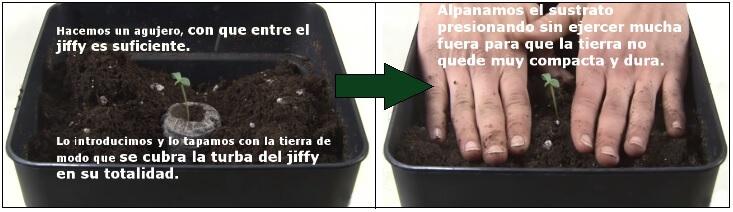 Plantula de Marihuana trasplantada a maceta