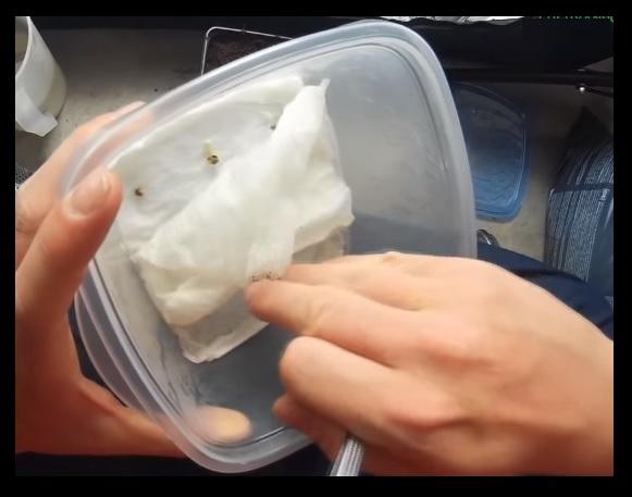 Germinar Semillas Autoflorecientes