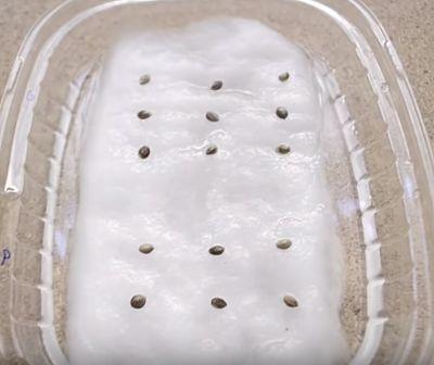 germinar semillas de marihuana utilizando algodon tercer paso