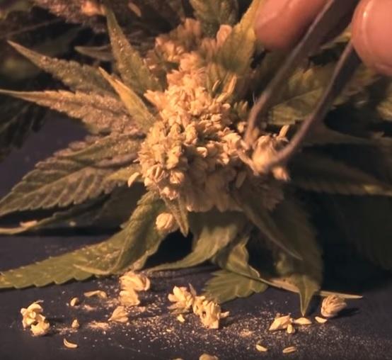 Hacer semillas feminizadas