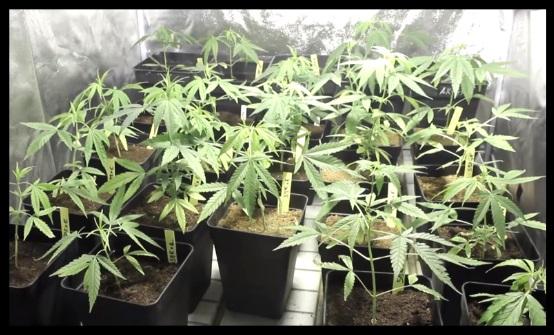 Indoor marihuana