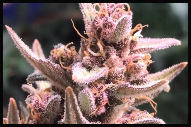 La marihuana mas potente