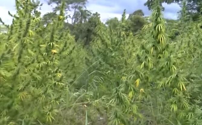 La mejor marihuana del mundo
