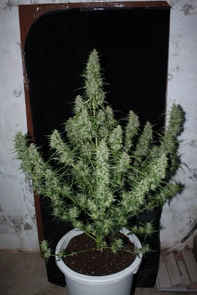 cuales son las variedades de marihuana mas rapidas