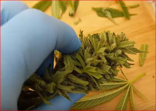 marihuana-autofloreciente