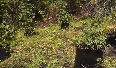 Marihuana oculta en el monte guerrilla