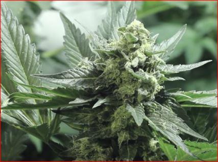 marihuana-humboldt-Seed