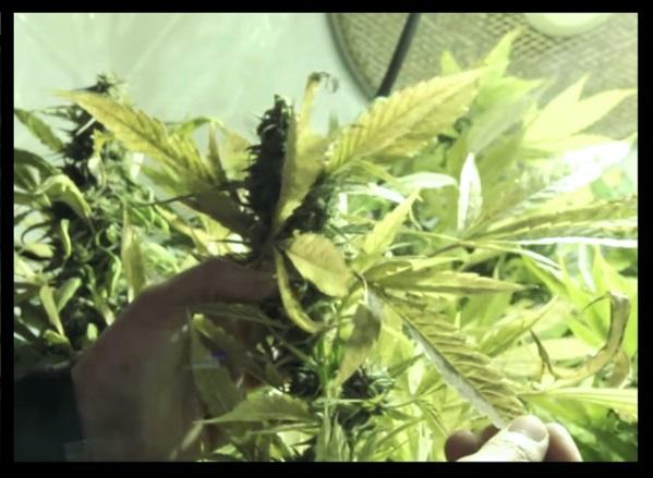 Marihuana interior