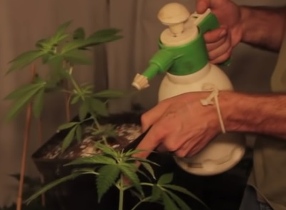 Marihuana Marron