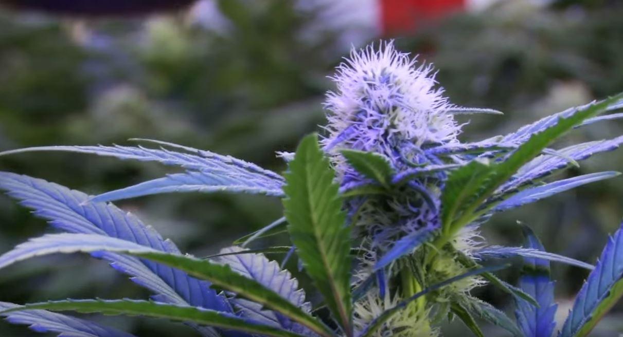 Marihuana perfecta para dormir cultivada con led, salen muy buenas