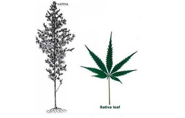 marihuana tipo sativa