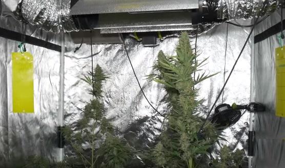 Mejor semilla de marihuana