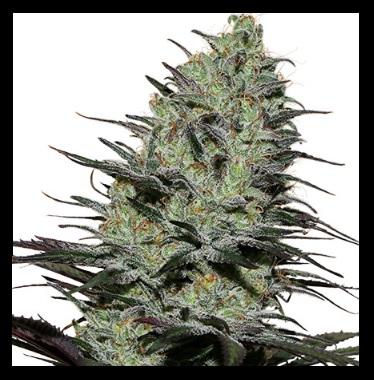 Morpheus Buddha Seeds