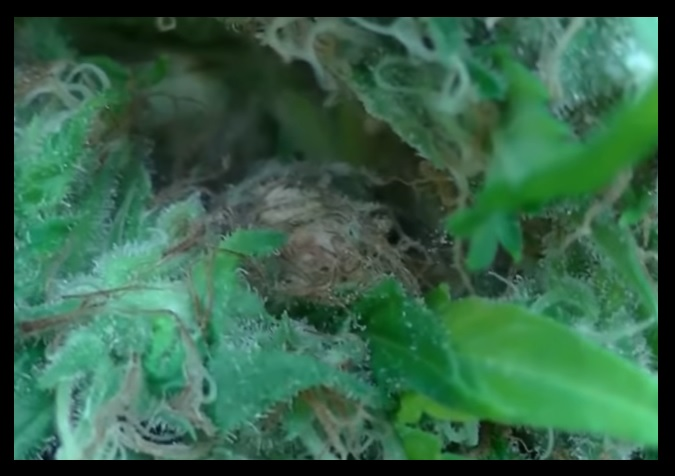botrytis tratamiento ecologico