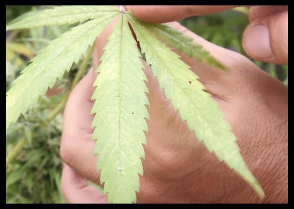 carencia de magnesio en las plantas