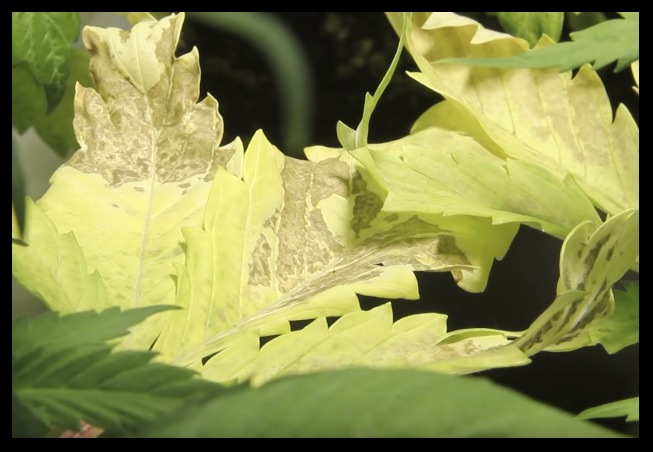 hojas marihuana amarillas