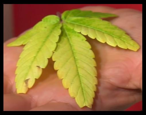 marihuana excesos y carencias