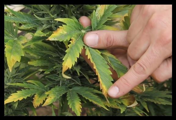 porque se ponen amarillas las hojas de marihuana