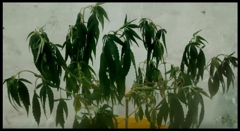 tablas de carencias marihuana