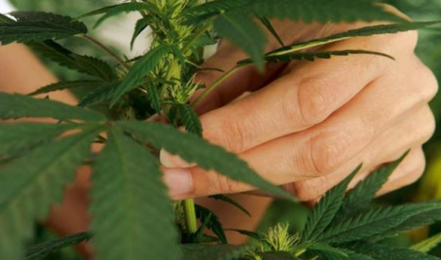 magdalenas de marihuana