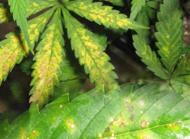 manchas hojas marihuana