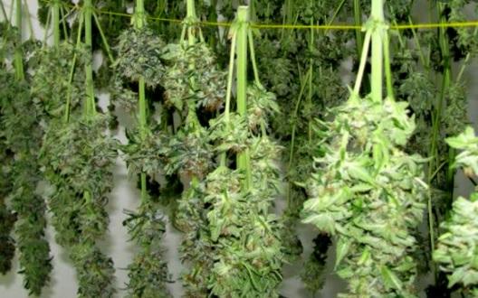 oruga marihuana