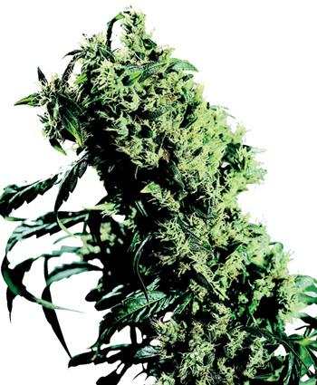 Semillas de marihuana Northern Ligths Eurogrow