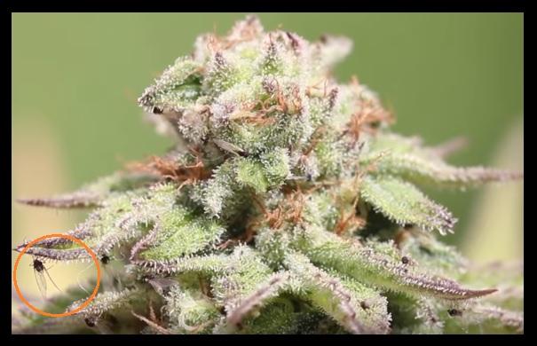 Plaga marihuana