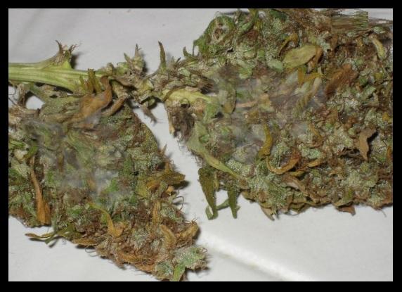 Plagas de la marihuana