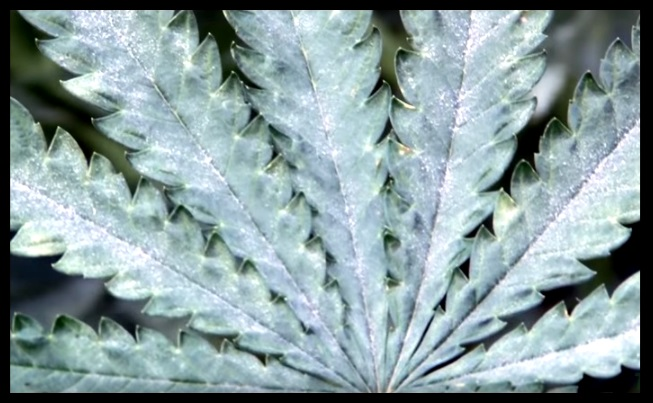 Plagas en la marihuana