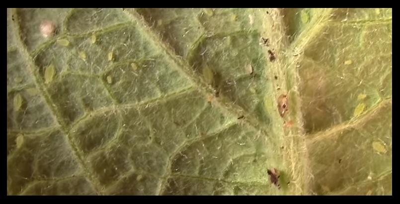 Plagas planta marihuana