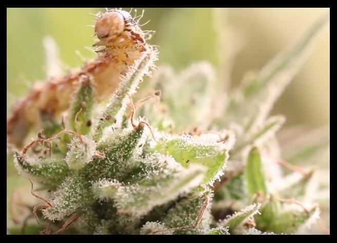 Plagas y enfermedades de la marihuana
