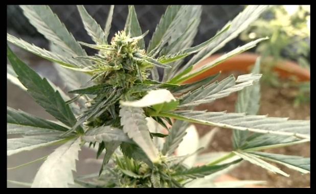 Plantar Autoflorecientes