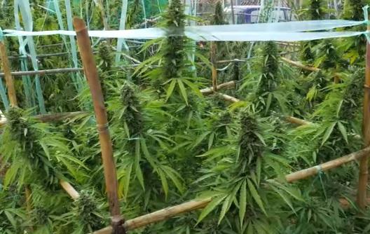Plantar Marihuana Exterior