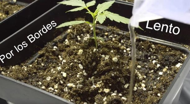 Plantar Marihuanas Exterior