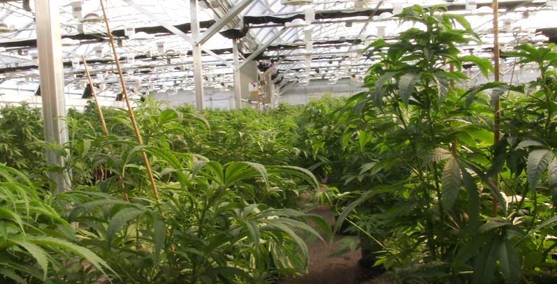 Plantas madre creciendo en exterior, Cultivo de marihuana, Como conseguir la mejor planta madre.