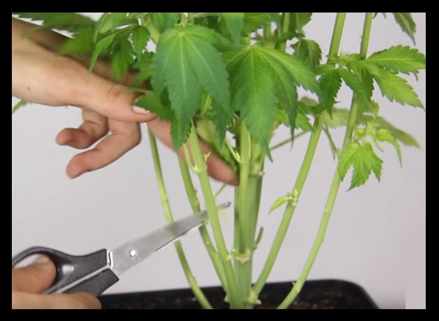 Prevencion Plagas marihuana
