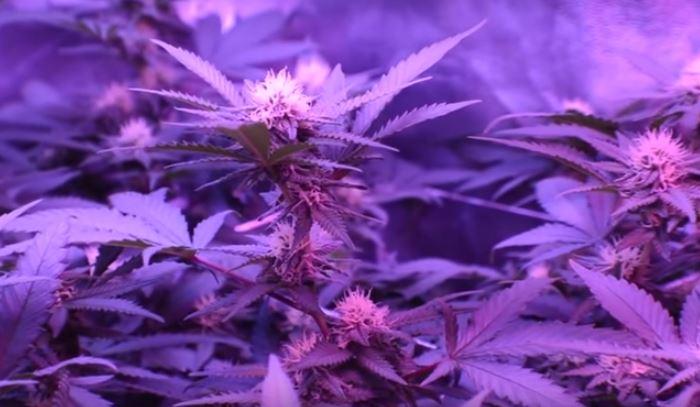 Primeras preflores con Bloombastic