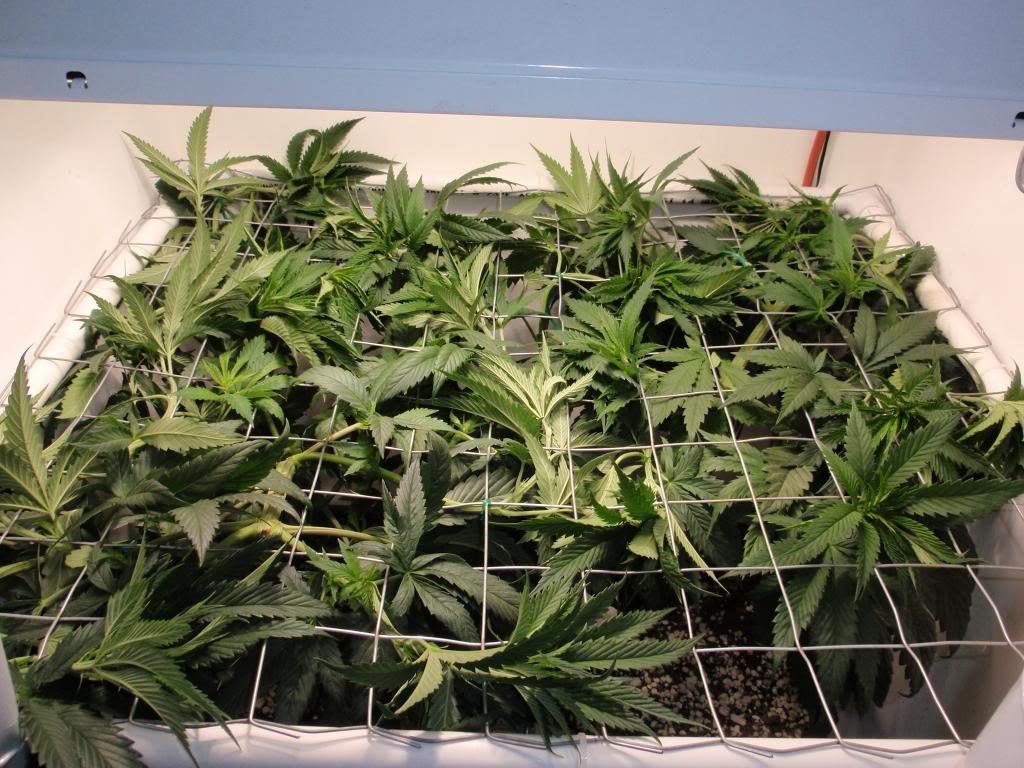 cultivo scrog marihuana