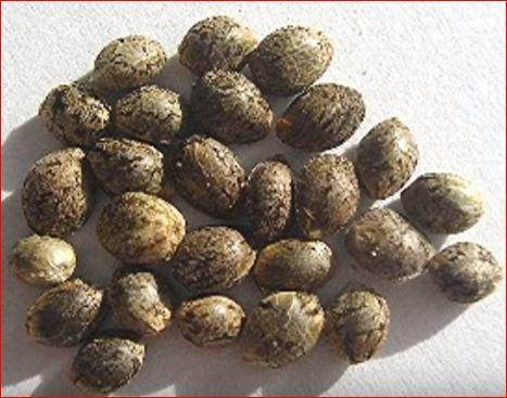 semillas-de-marihuana-de-plantas-hermafroditas