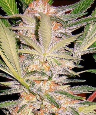 Sweet Afghani Delicious