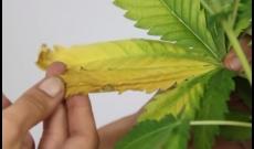 Hojas Amarillas Marihuana